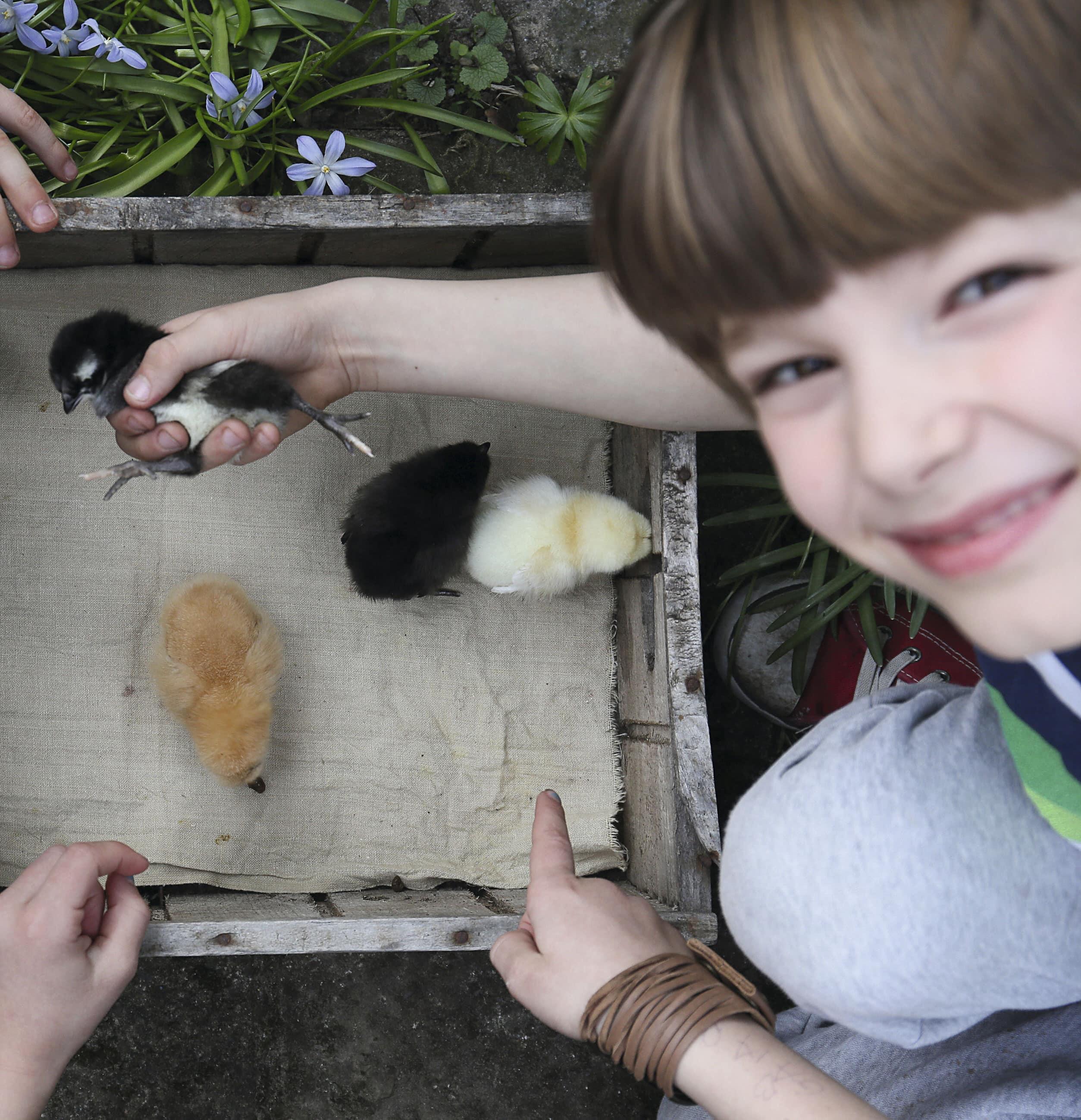 Kyllinger til hønsegården